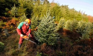 forester cuts down a Fraser fir tree