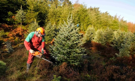 forester cuts down a Fraser fir tree