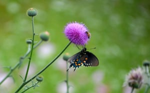 A bee and a butterfly feed on a Texas pink thistle