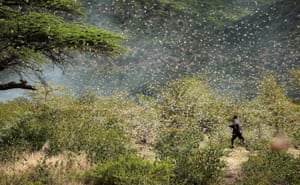 Somali region, Ethiopia A farmer attempts to fend off desert locusts as they fly in his khat farm on the outskirts of Jijiga