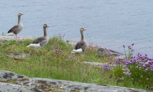 Greylag geese by the water's edge