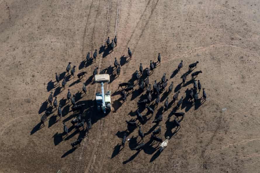 An aerial view as Emily Doolan feeds cattle.