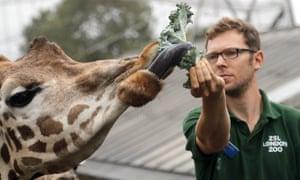 A zookeeper feeds a giraffe at London zoo