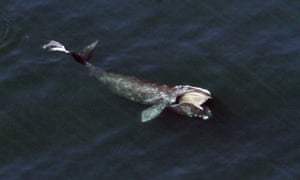 A right whale feeding just below the surface of Cape Cod Bay offshore from Wellfleet, Massachusetts.
