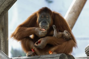 Tel Aviv, IsraelFemale orangutan Tanna holds her two week old baby daughter at the Ramat Gan Safari Park near Tel Aviv.
