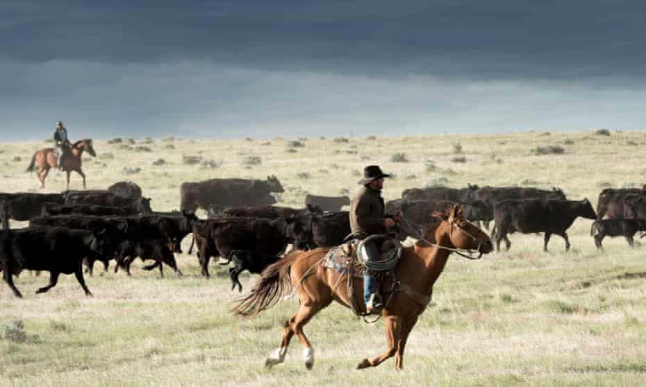 Rancher Wayne French flanks a group of cows during a roundup in Phillips County, Montana.