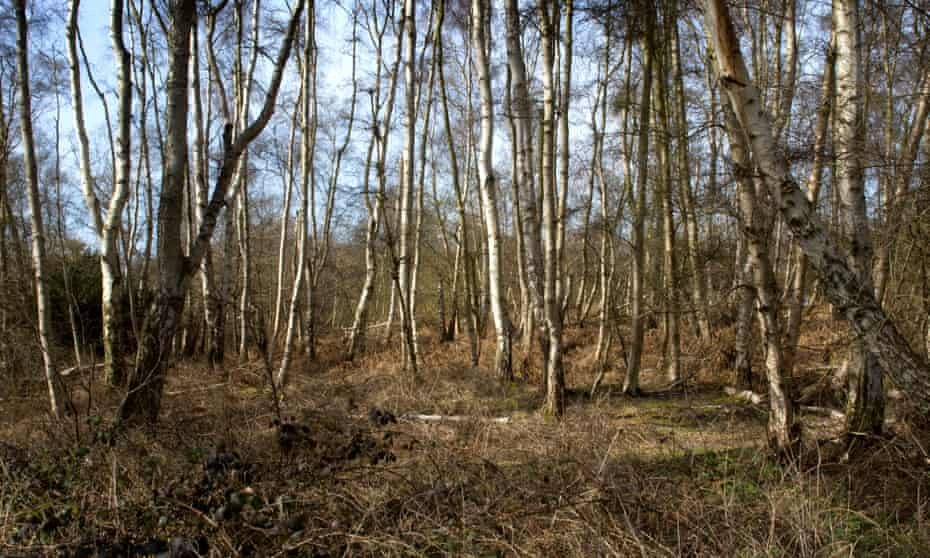 The largest silver birch woodland in lowland England is at Holme Fen - it was created when Whittlesea Mere was drained in the 1850s.