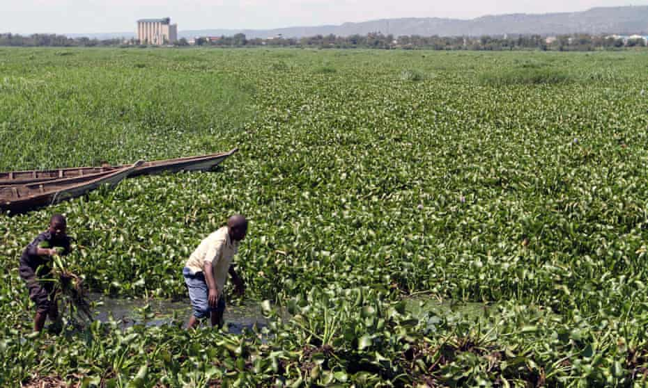 Edward Shamban removes water hyacinth from Lake Victoria, Kisumu, Kenya. The free floating water plant hinders small boats from docking and prevents fishing activities along the landing beaches.