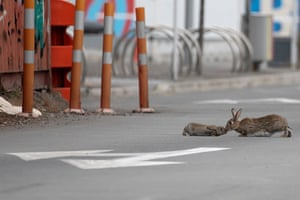 A baby rabbit and its mother enjoy the empty roads of Christchurch, New Zealand