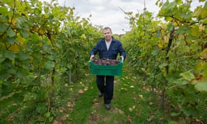 Picking red wine grapes on the Bolney estate in Sussex.