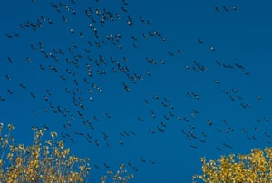 Cranes flying across a cloudless sky, Rhineland, Germany