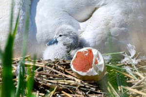 The first of this year's baby cygnet swans hatches at Abbotsbury Swannery in Dorset, UK