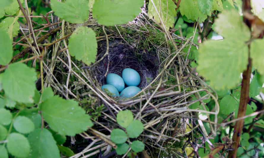 A dunnock's nest containing eggs