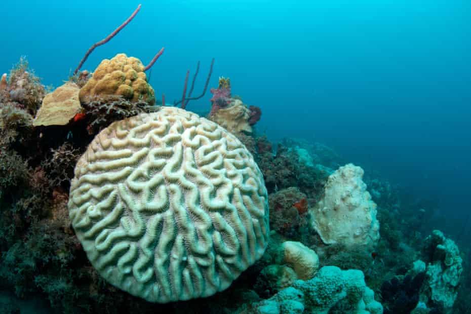 Boulder brain coral the US Virgin Islands