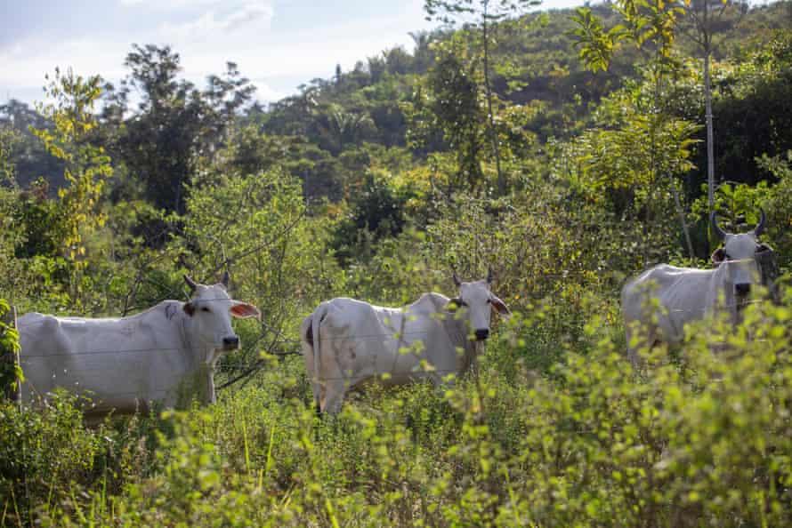 Cattle grazing in Terra do Meio, in the municipality of Sao Felix do Xingu, in the state of Para.