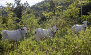 Cattle on a farm in Terra do Meio, where some ranchers have been found to flout a deforestation ban.