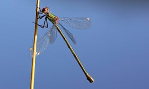 A female willow emerald damselfly, Chalcolestes viridis.