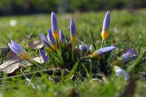 The first crocuses appeared in Szczecin, Poland