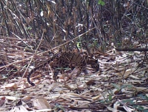 A clouded leopard photographed in the hill forests of northern Karen State, Myanmar as part of the region's first ever camera trap surveys