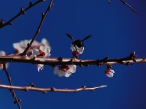 A bee sitting on an apricot blossom on 3 March.