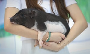 A genetically modified pet pig developed in China. Chinese scientists made headlines earlier this year after editing the genomes of human embryos
