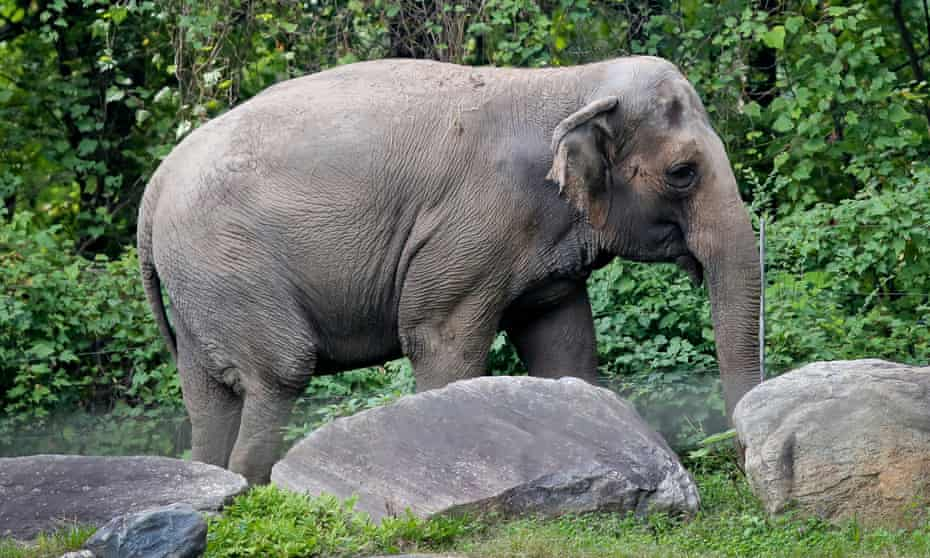 Happy the elephant at the Bronx Zoo in New York City on 2 October 2018.