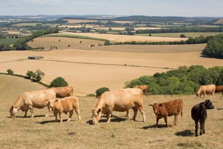 Cattle in a field of dried grass in Wiltshire