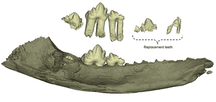The jaw of Wareolestes rex, digitally reconstructed from microCT scans and showing replacement teeth.