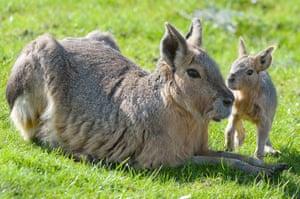 Patagonian maras  at Whipsnade zoo