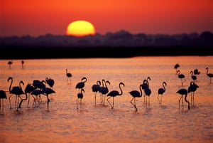 Greater flamingos wade in the Donana national park in Andalucia, Spain