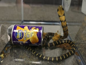 A king cobra snake seen coming out of a container of crisps