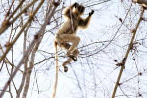 A Verreaux's sifaka jumps on a tree at the Kirindy forest reserve near Morondava, Madagascar