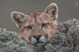 Trustful by Ingo Ardnt (Germany). A relaxed puma in Patagonia, Chile
