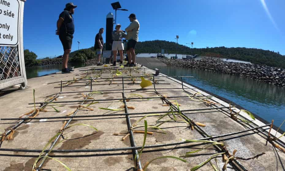 Planting frames with seagrass in Mourilyan Harbour, Queensland. Scientists are trying to regrow seagrass meadows near Cairns.