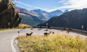 Goats on the Timmelsjoch road