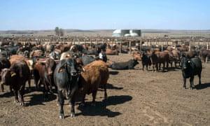 A herd of cows near Pretoria in South Africa