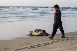 Gaza, Palestine. A Palestinian boy walks by a sea turtle found dead on Gaza Beach