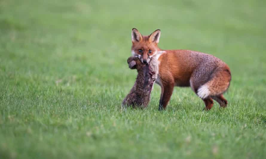 A fox with a rabbit.