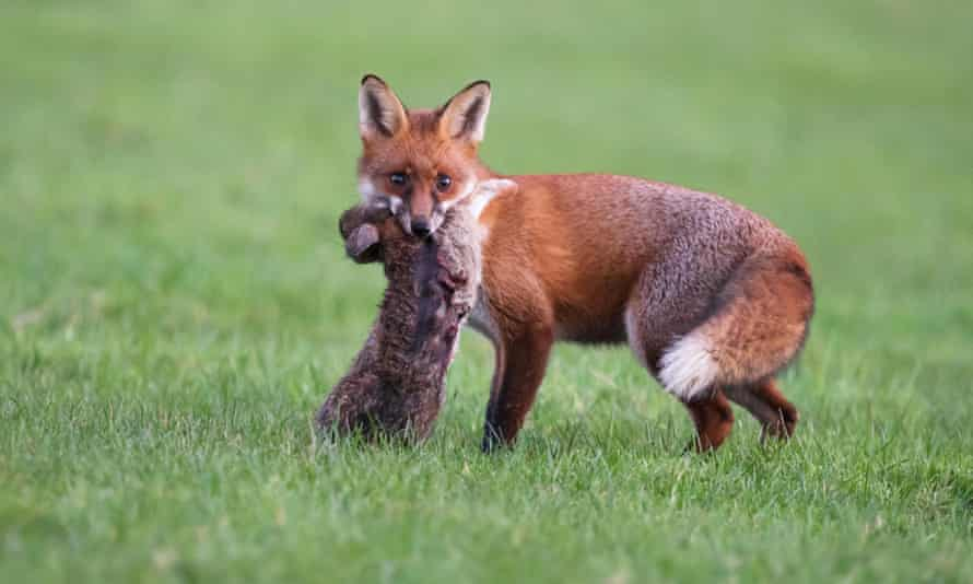 A wild red fox with a dead rabbit