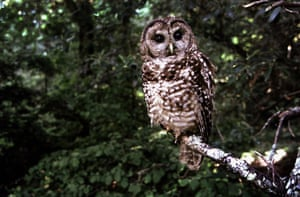 A Northern Spotted owl in Point Reyes in June 1995.