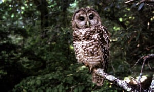 A Northern Spotted owl. Conservationists sued the US Fish and Wildlife Service in 2001 in an attempt to get the agency to respond to a petition to list the California spotted owl as endangered species.
