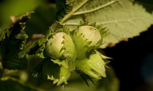 Hazelnuts are true nuts in the biological and culinary sense. They do not open as they ripen and are therefore classed as dehiscent.