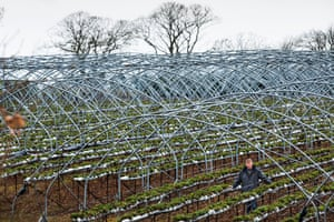 James Porter, Scottish soft fruit farmer, needs to find hundreds of pickers to harvest his strawberries.