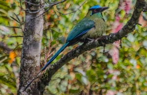 An Andean motmot at San Miguel hill, near Medellin, Colombia