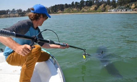 Dr Salvador Jorgensen, a senior research scientist at the Monterey Bay Aquarium, in position to deploy an electronic tag on a juvenile white shark in Monterey Bay.