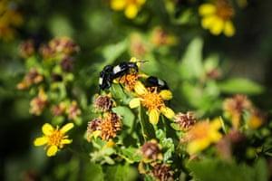 Wasps on aruera flowers (Bidens bipinnata) at the Lunarejo Valley, in Rivera, Uruguay.