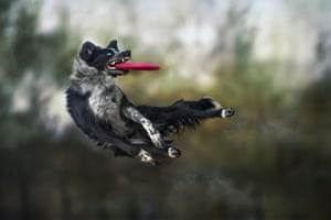 A border collie makes a catch