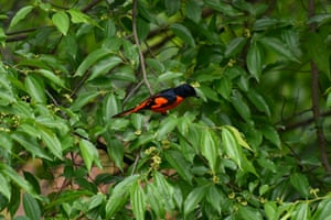 Scarlet minivet bird