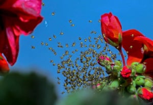 Newly hatched crowned orb weaver spiderlings climb across their web stretched between flowers in Szolnok, Hungary