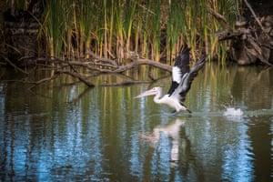 Australian Pelican at Gayini